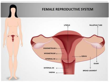 Free Female Reproductive System Medical PowerPoint Template for ...