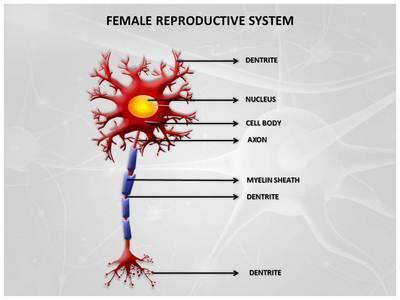 Neuron Diagram Editable PowerPoint Template