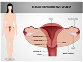 Female Reproductive System Template