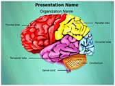 Cerebellum Brain Parts PowerPoint Templates